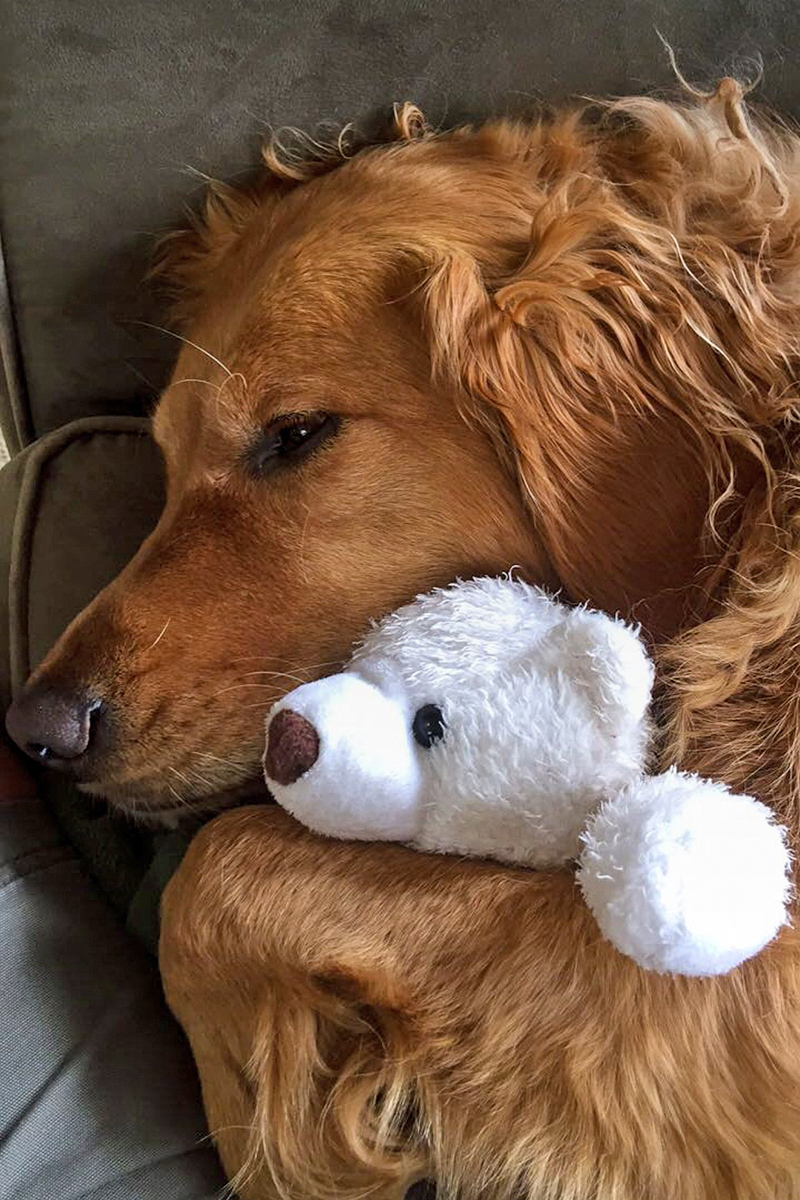 Cute Golden Retriever is sleeping with a toy