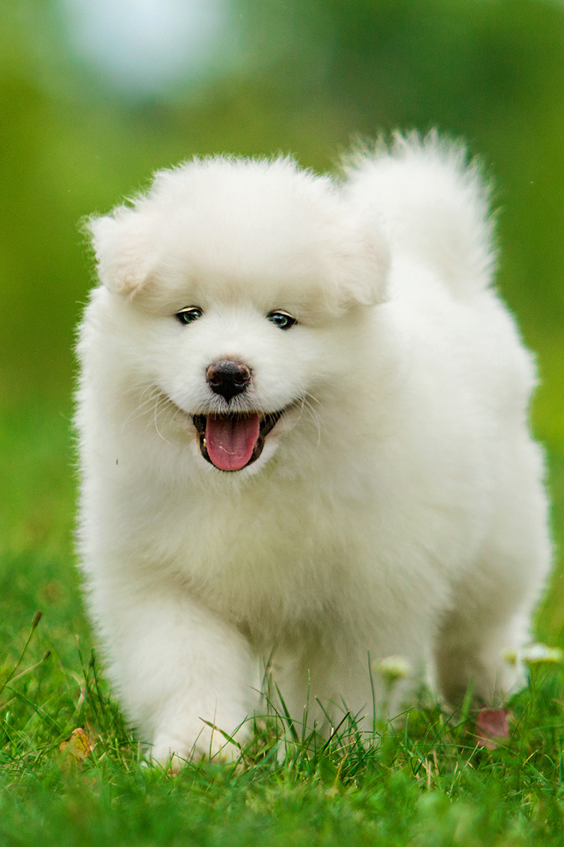 Cute Samoyed puppy outdoors