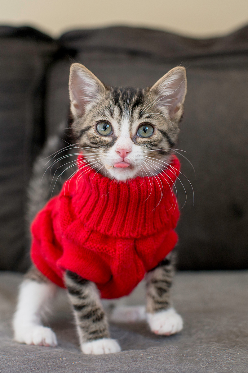 Cute red cat in a sweater shows its tongue