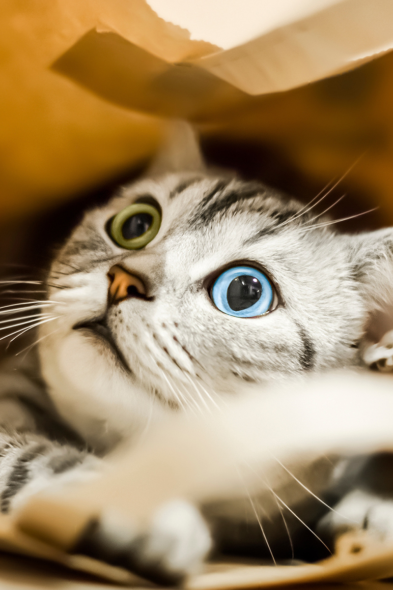 Beautiful cat with different eyes
