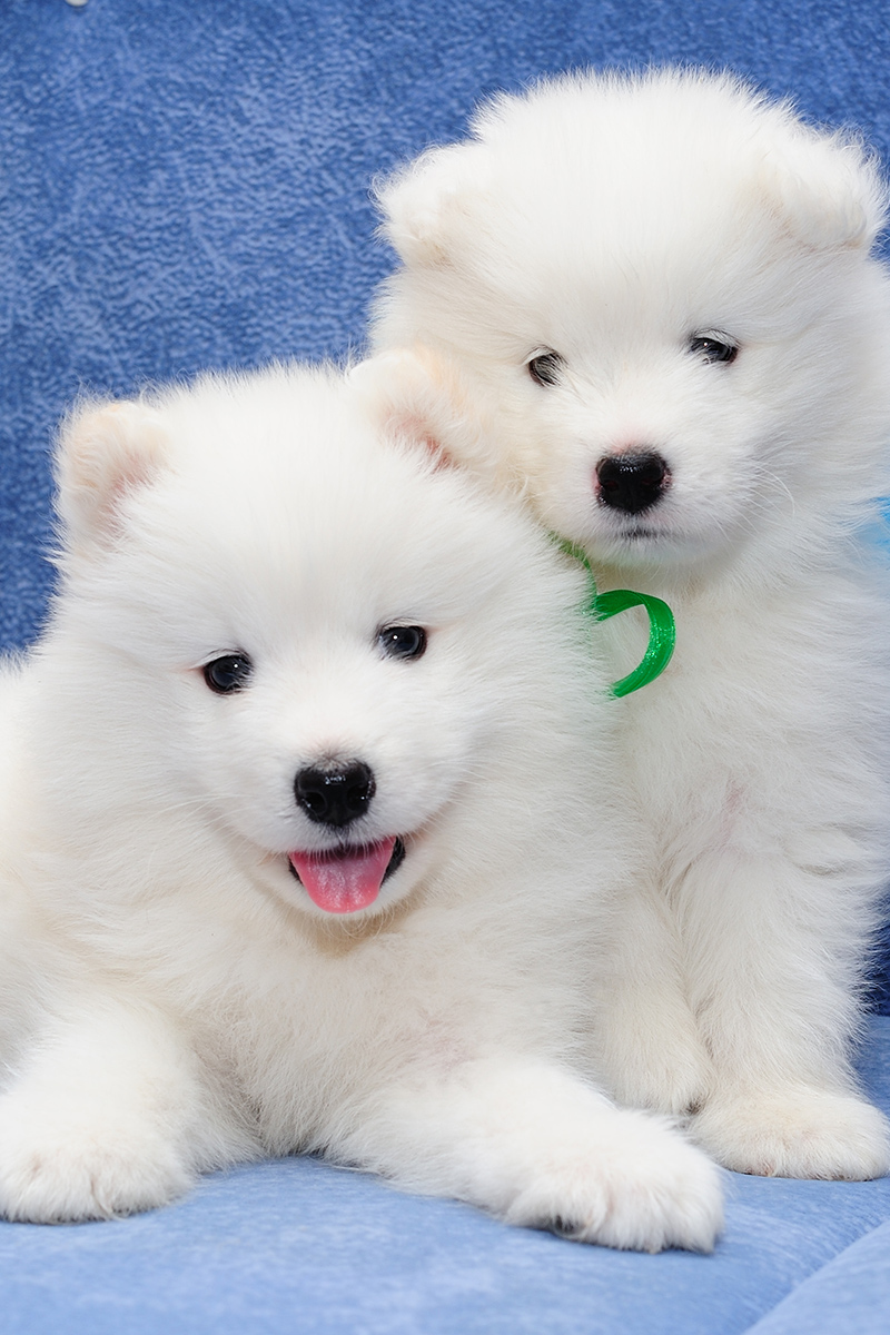 Two cute Samoyed puppies