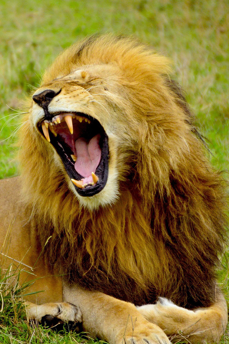 Admirable roar of a lion