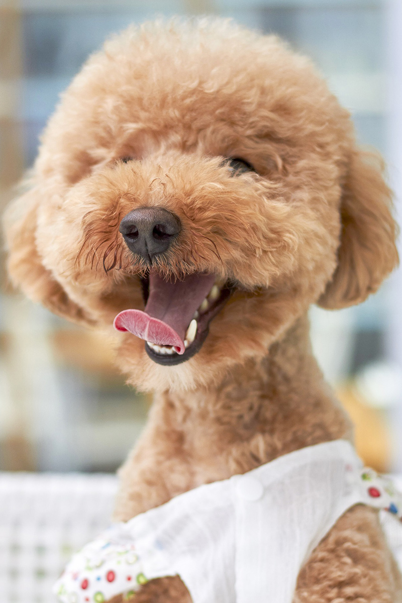 Cute Poodle is smiling