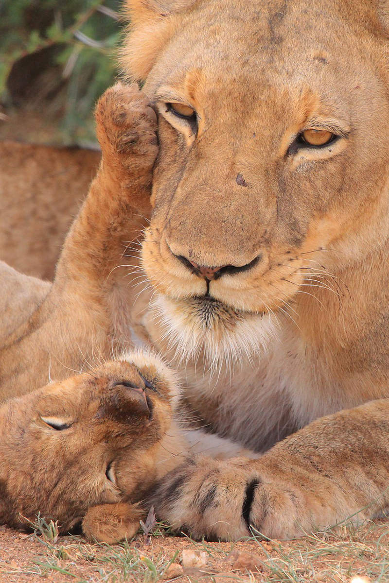 Little lion cub with its mother