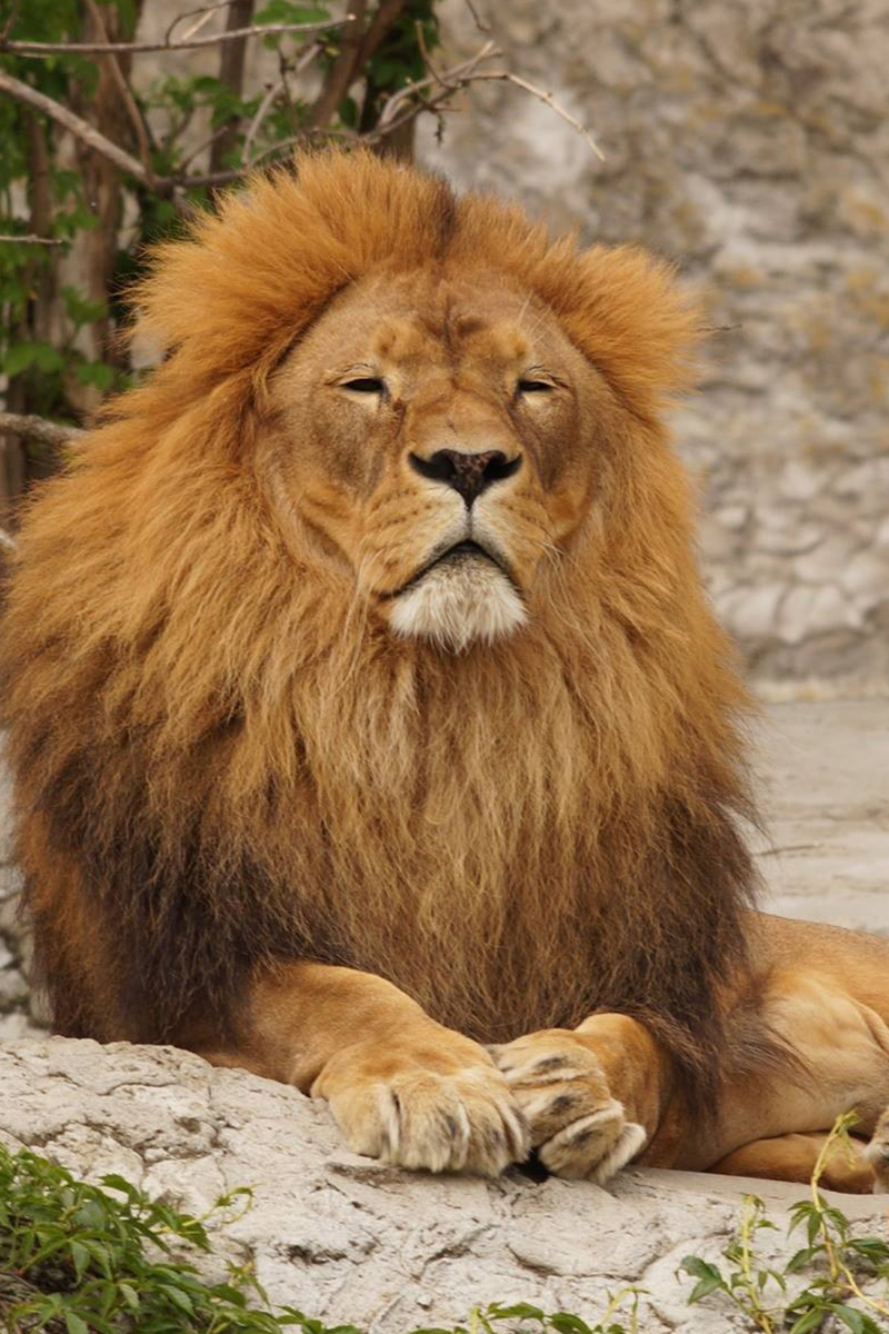 Great lion is resting