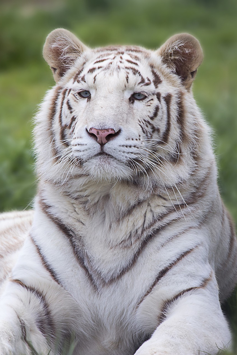 Beautiful white tiger in the open air