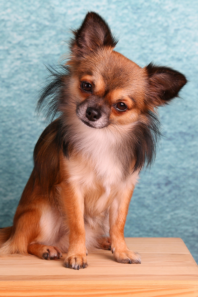 Lovely Chihuahua dog