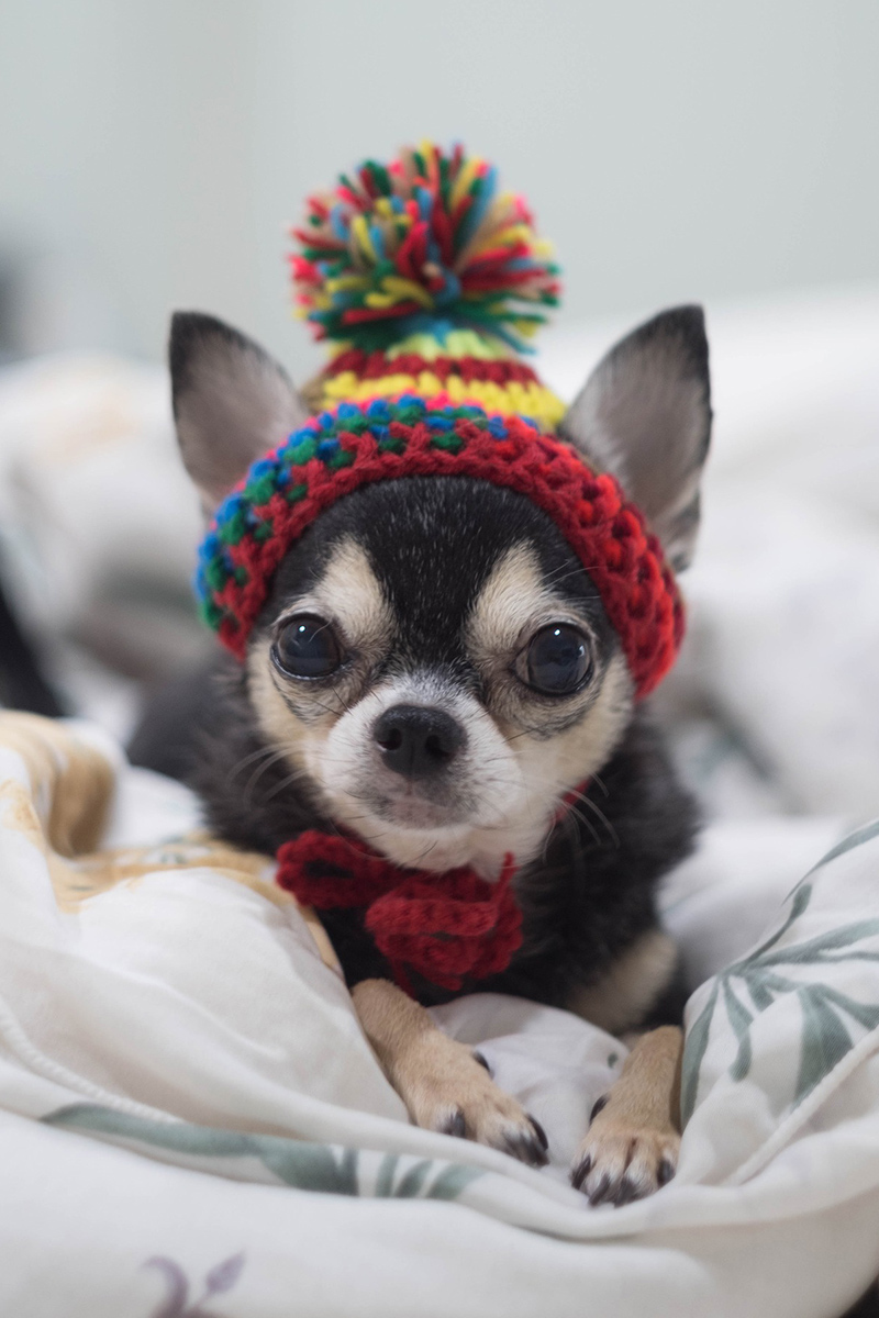 cutest Chihuahua puppy in a hat