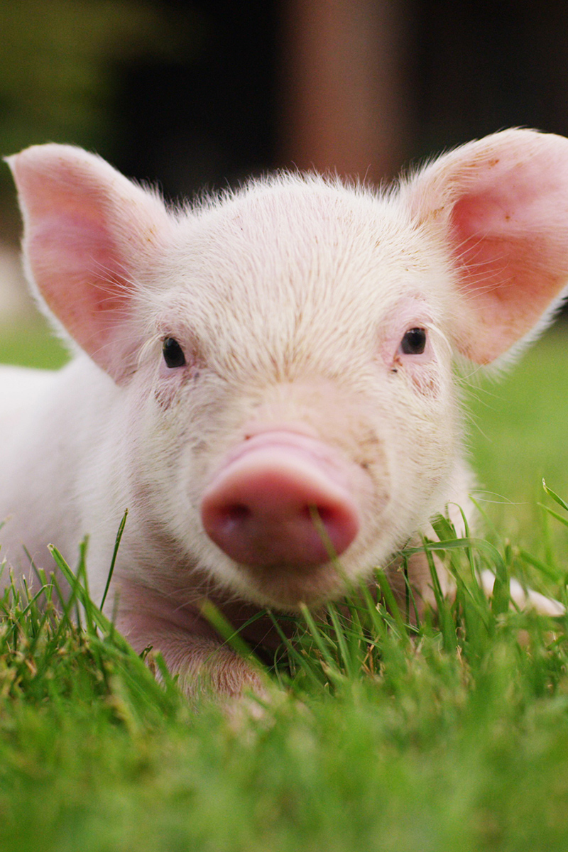 Cute young pig on the grass