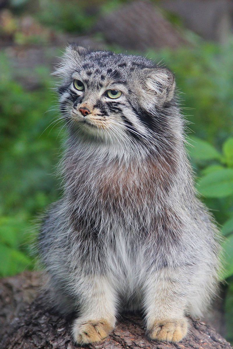 Amazing manul in the open air