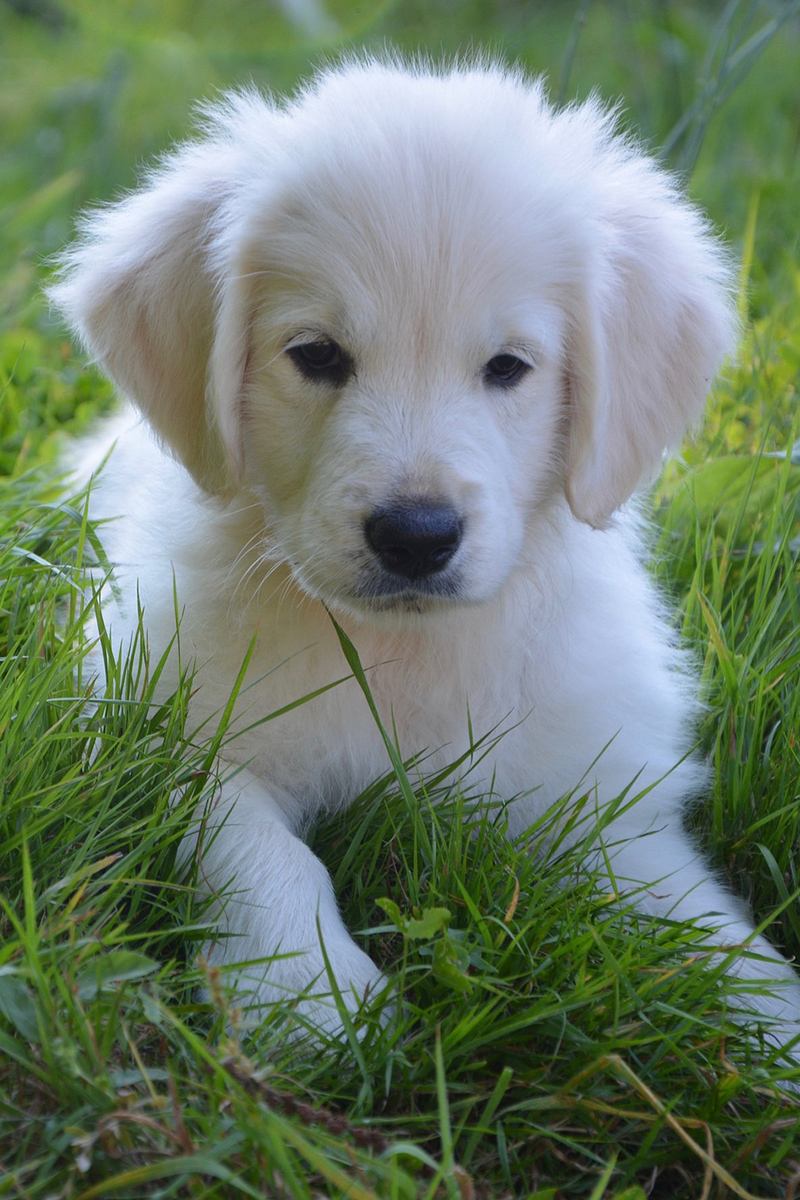 Cute puppy - Golden Retriever