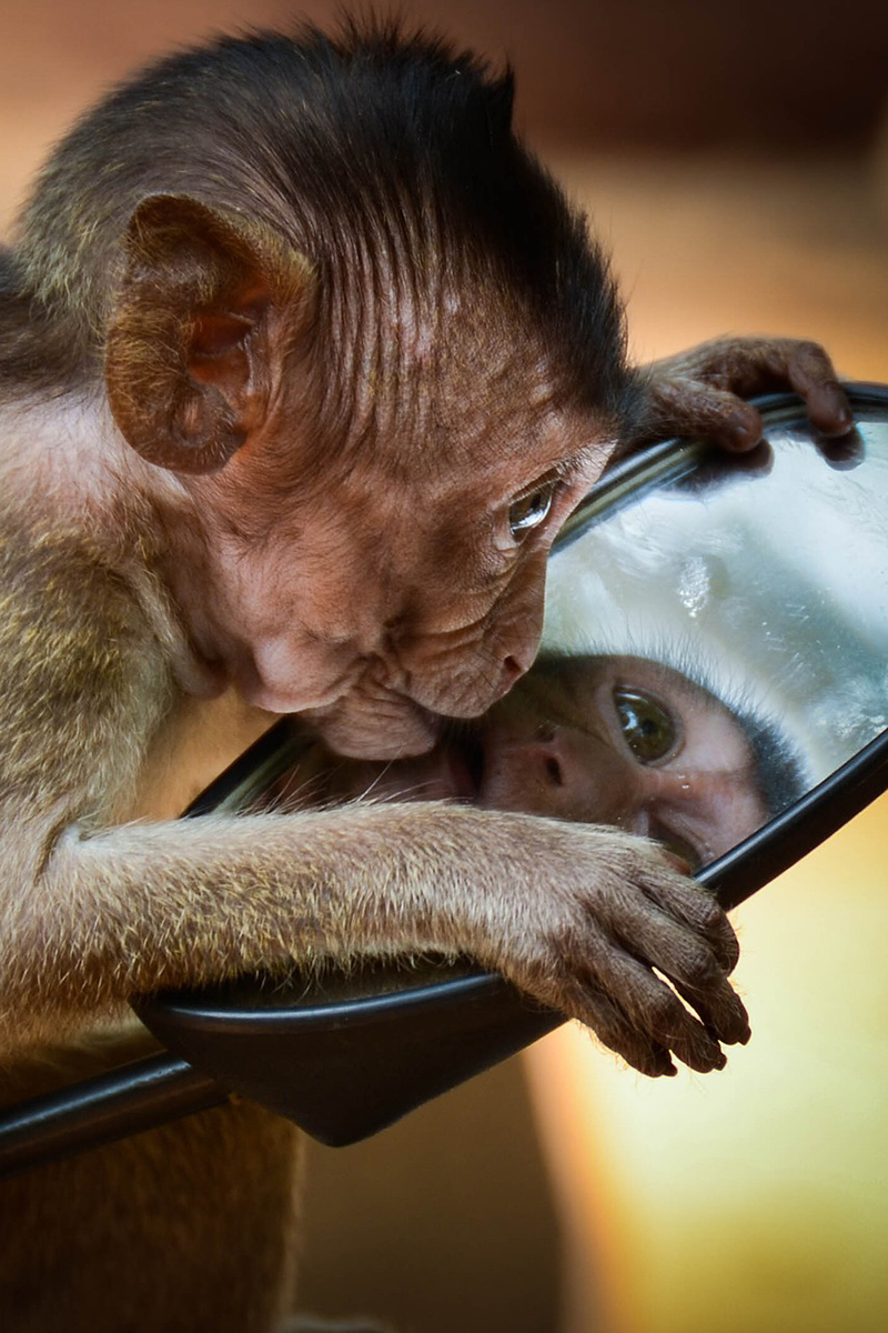 Funny picture with a monkey and mirror