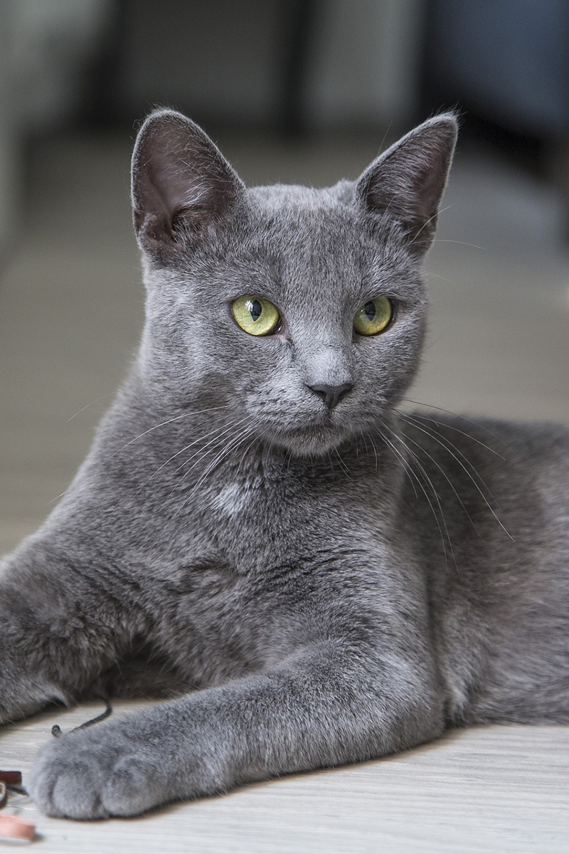 Adorable grey cat is lying on the floor